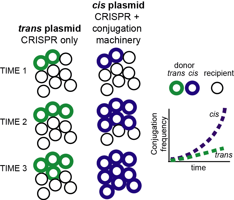 Model of conjugative spread of cis and trans plasmids