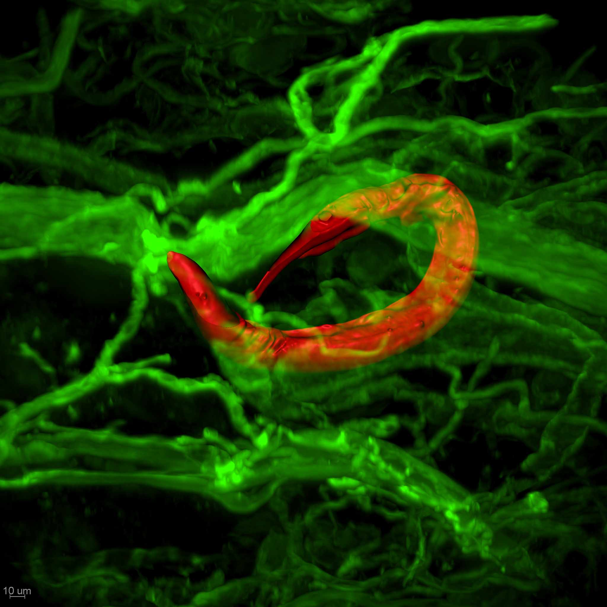 Figure 1. Bacterivorous soil-derived (non-parasitic) nematode (red) wrapped around a nerve in the mouse skin. Nerves, blood vessels, and lymphatics of the skin are stained green.