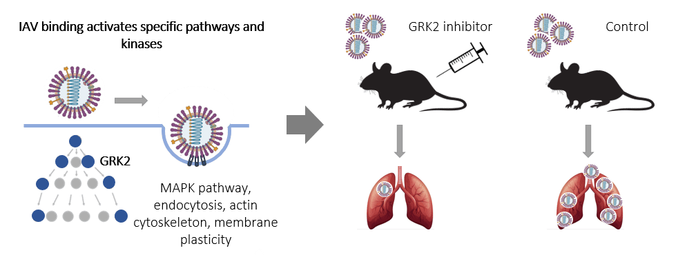 Schematic overview of our study identifying GRK2 as key kinase in influenza A virus entry and potential drug target
